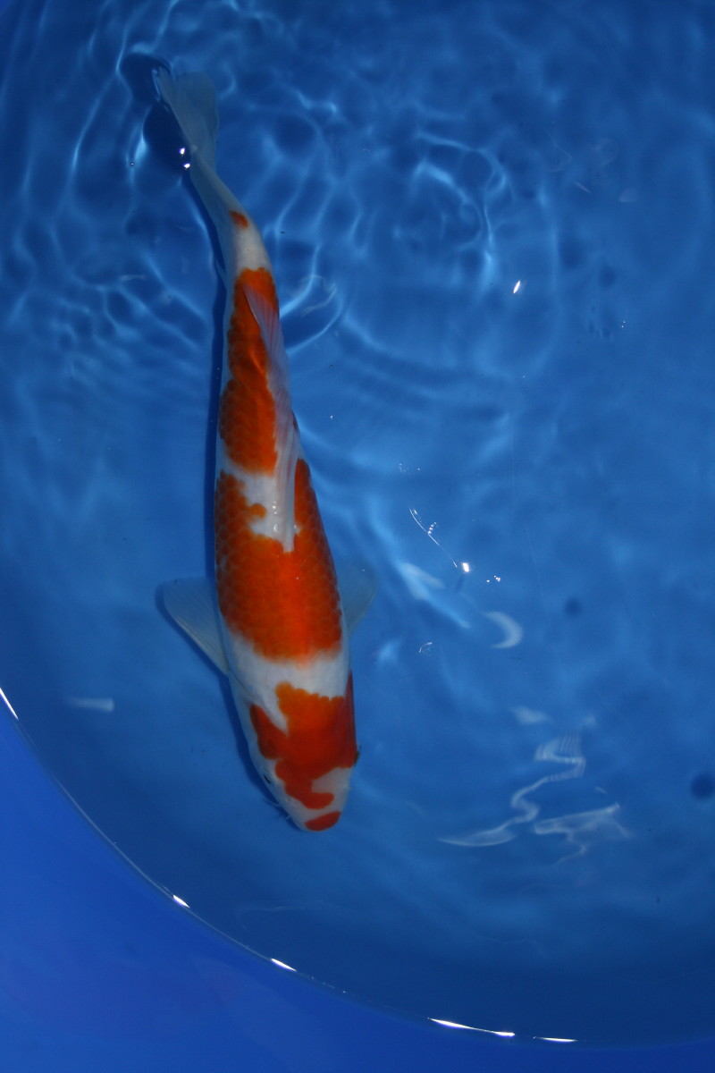 This years spawning for Japanese koi fry for sale